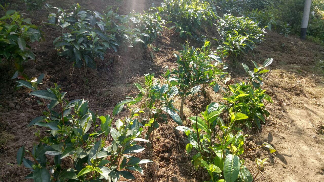 खेतों में लगाए गए चाय के पौधे